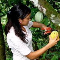 Cadena de Cacao fomenta competitividad y desarrollo del rubro